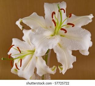 Casablanca White Lilies Closeup Showing Flower Details