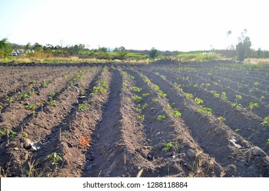 Casava plantation, known as tropical manioc, yuca, macaxeira, mandioca, aipim and Brazilian arrowroot in Loei province, Northeastern Region of Thailand, one of the largest sources of carbohydrate