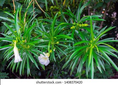 Cascabela thevetia, White oleander, Lucky nut, Lucky Bean, Trumpet Flower (Thevetia Peruviana (Pers.) K.Schum) blooming on tree in the tropical garden of Thailand