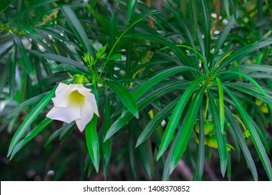Cascabela thevetia, White oleander, Lucky nut, Lucky Bean, Trumpet Flower (Thevetia Peruviana (Pers.) K.Schum) blooming with green fruits on tree in the tropical garden of Thailand