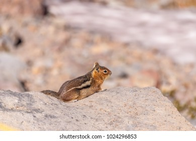 Cascade golden-mantled ground squirrel (Spermophilus saturatus or Callospermophilus saturatus) on a boulder at Panorama Point, Skyline Trail, Paradise, Mount Rainier National Park, Washington state.