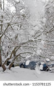 A cascade of large clumps of snow falls from a dogwood tree's snow laden branches onto and obscuring a parked car