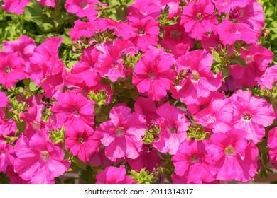 Una cascada de flores de surfinia rosa (flores con forma de campana, petunias rayantes) en un día soleado