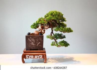 Cascade style bonsai showcase