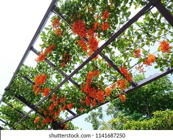 The cascading clusters of flowers producing from Red Jade Vine (Mucuna bennettii) on galvanized steel ropes and an overhead trellis.