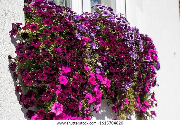cascading-petunia-pink-burgundy-tones-60