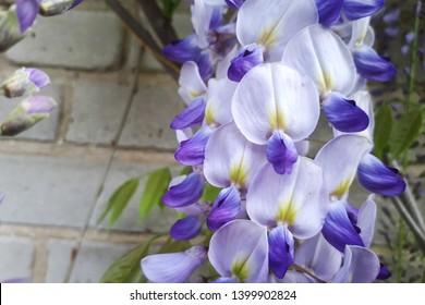 Cascading purple wisteria. Violet wisteria.
