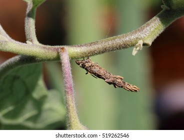 Case moth caterpillar making its way on a branch. It protects itself by constructing a cocoon made from fragments of twigs and plant materials held together by silk that it produces and as camouflage.