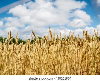 Cash Crop Farm Field Oats