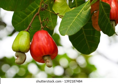 Cashew fruit. Cashew fruit (Anacardium occidentale) hanging on tree. Cashew nuts growing on a tree This extraordinary nut grows outside the fruit.