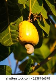 A cashew fruit still yellow on the tree - Oeiras, Brazil