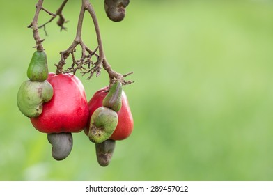 Cashew growing on a tree