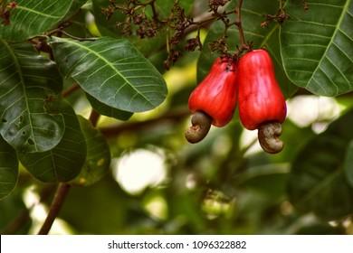 cashew nut, cashew tree
