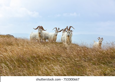 Cashmere goats at Great Ormes Head, Llandudno, Gwynedd, North Wales