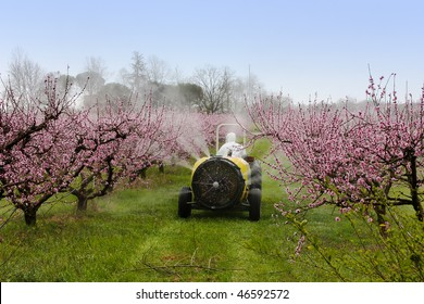 cask tractor sprays a chemical pollutant insecticide or fungicide in the orchard of peach with flowers - pollution with carcinogenic pesticide