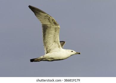 Caspian Gull (Larus cachinnans) in flight