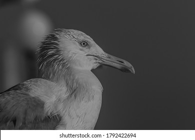 The Caspian gull (Larus cachinnans) is a large gull and a member of the herring and lesser black-backed gull complex. The Caspian gull breeds around the Black and Caspian Seas
