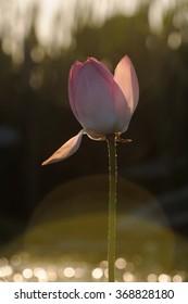 Caspian lotus (Nelumbo caspica) in Volga delta. Astrakhan region, Russia