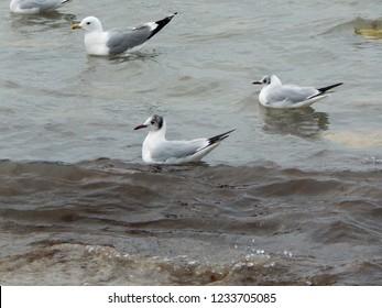 Caspian seagulls on the sandy beach of the sea.