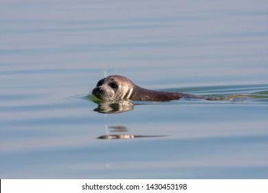 Caspian Seal (Pusa caspica) swimming in the Caspian sea in Iran.