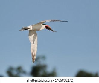A Caspian tern after catching a fish