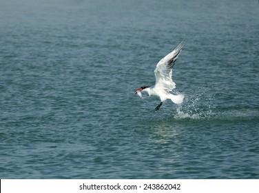 Caspian tern with a catch