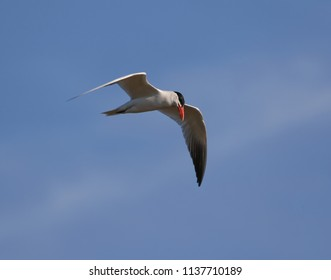 Caspian tern in flight.