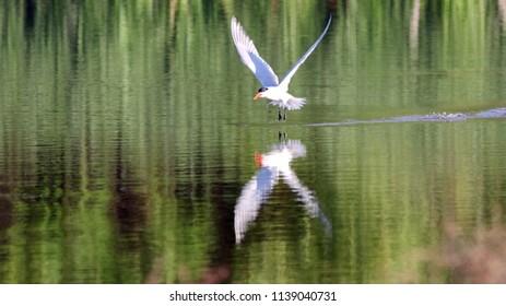 Caspian Tern Flying