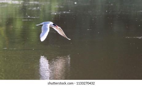 Caspian tern flying past.