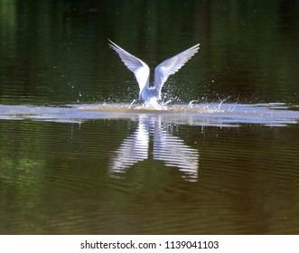 Caspian Tern Splashing