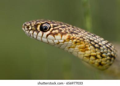 Caspian whipsnake (Dolichophis caspius)