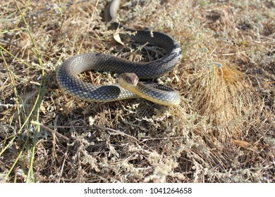 The Caspian whipsnake is perhaps the largest species of snake in Europe. It typically grows to around 140–160 cm (55–63 in) in length, though a few may exceed a length of 200 cm (79 in)