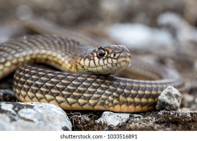 TheCaspian whipsnake(Dolichophis caspius) also known as thelarge whipsnake, is a common species ofwhipsnakefound in theBalkansand parts ofEastern Europe.