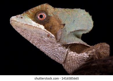 Casque-headed lizard (Corytophanes hernandezii) is an arboreal lizard species from Central America.