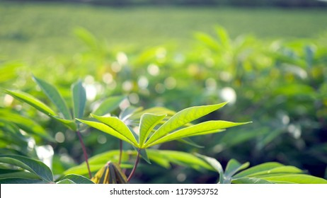 Cassava in the beautiful green countryside.