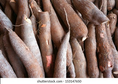 Cassava, also called manioc, yuca, balinghoy, mogo, mandioca, kamoteng kahoy, tapioca and manioc root, a woody shrub of the Euphorbiaceae family native to South America