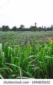 Cassava farm with tall grass foreground