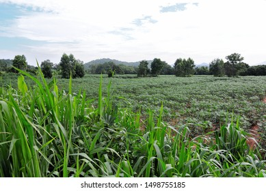 Cassava farm with tall grass foreground, Agriculture landscape