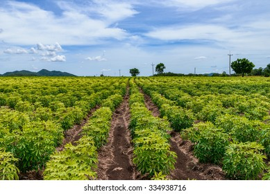 cassava field.