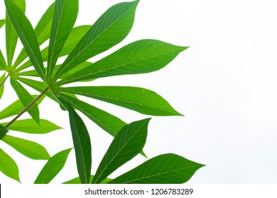 cassava foliage isolated on white background