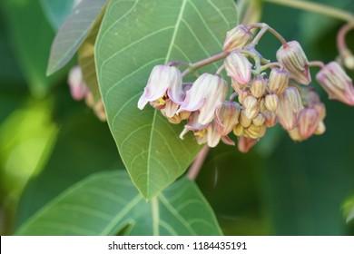 cassava or Manihot esculenta, manioc, yuca, mandioca, Brazilian arrowroot