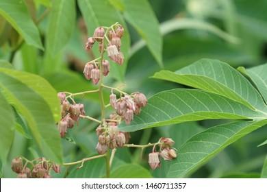 cassava or Manihot esculenta, manioc, yuca, mandioca, Brazilian arrowroot,tapioca