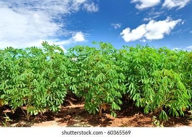 Cassava or manioc plant field in thailand.