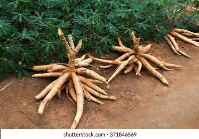 Cassava on the floor