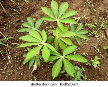 cassava is one of the plants that have bioethanol source