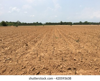 Cassava plantation field
