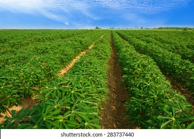 Cassava plantation Northeast of Thailand