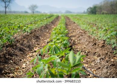 Cassava plantation Northeast of Thailand .selective focus