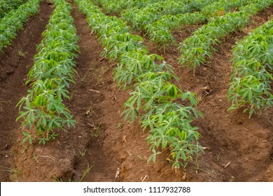 Cassava plantation.Young shoots of cassava.
