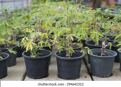 Cassava plots